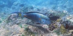 Acanthurus sohal