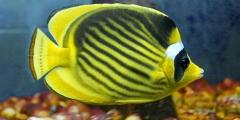 Chaetodon fasciatus