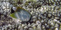 Chaetodon trifascialis