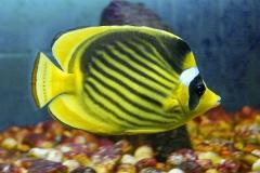 фото полосатых рыбок с названием