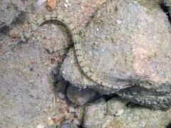 Corythoichthys flavofasciatus