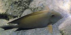 Ctenochaetus striatus