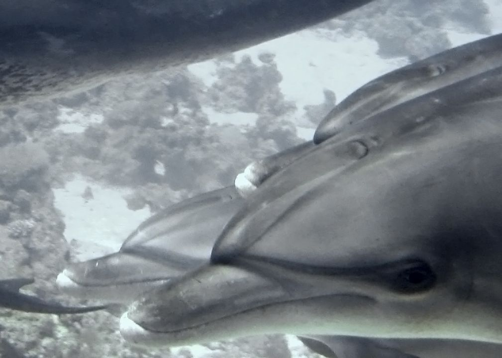Tursiops truncatus