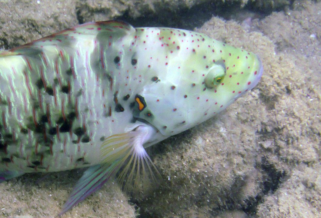 Cheilinus abudjubbe (female)