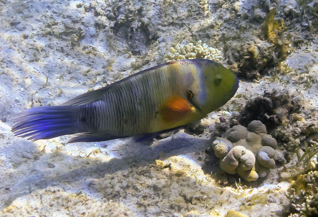 Cheilinus lunulatus (female)