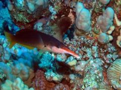 Gomphosus caeruleus (female)