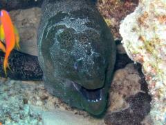 Gymnothorax javanicus