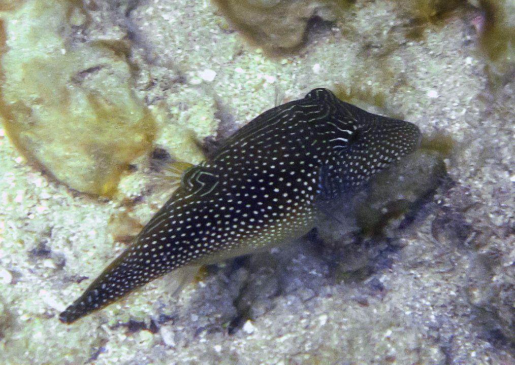 Canthigaster margaritata