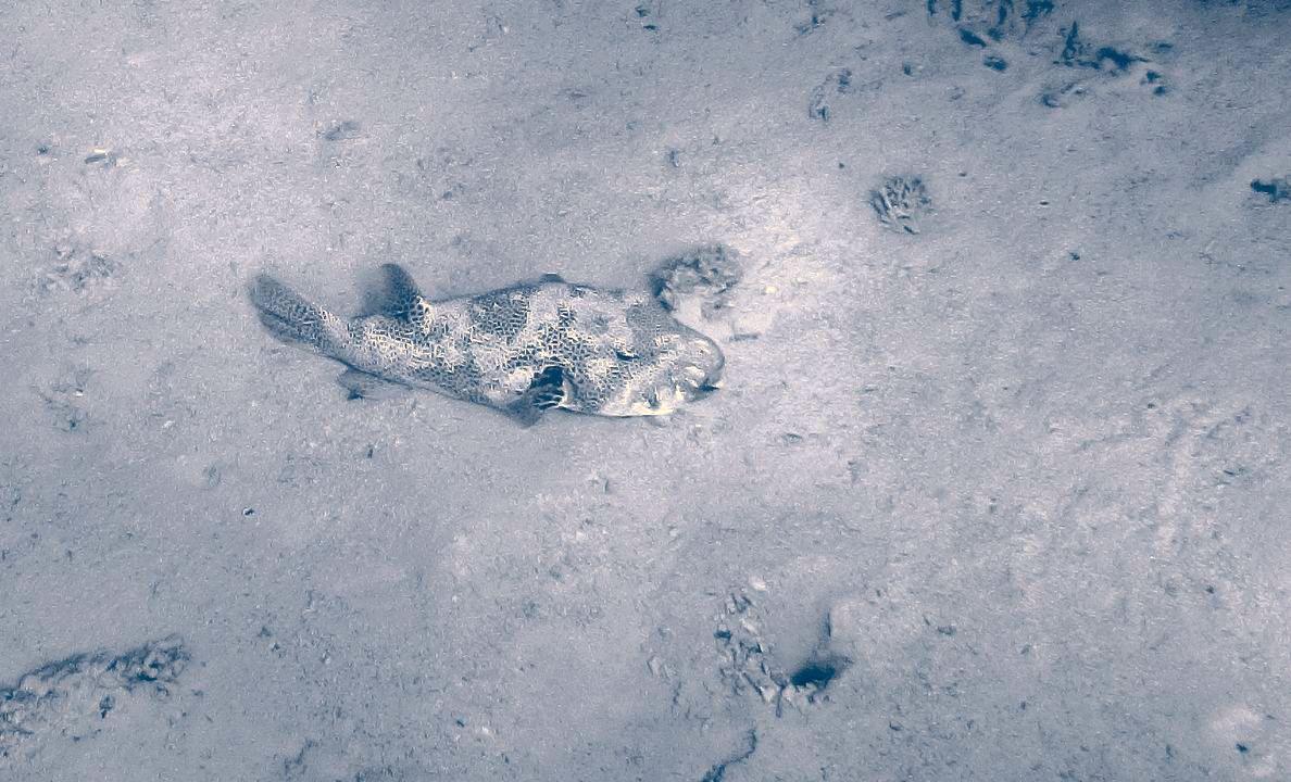 Arothron stellatus