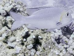 Lethrinus borbonicus
