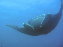 Manta birostris