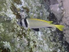 Acanthopagrus bifasciatus