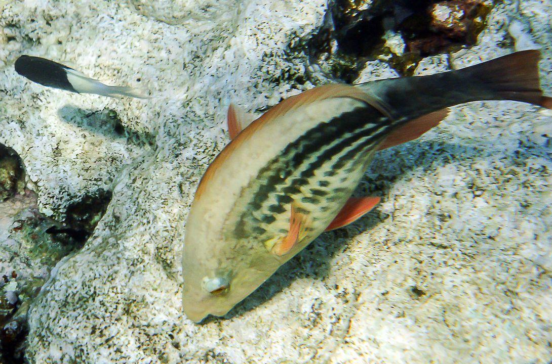 Scarus frenatus (female)
