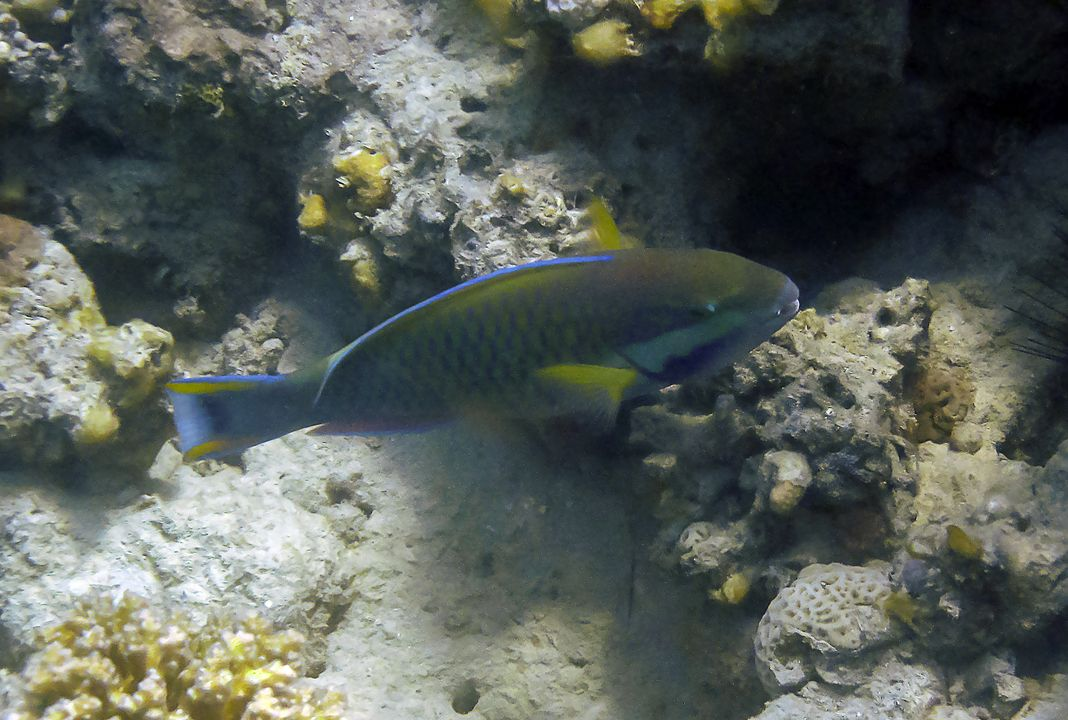 Scarus ferrugineus
