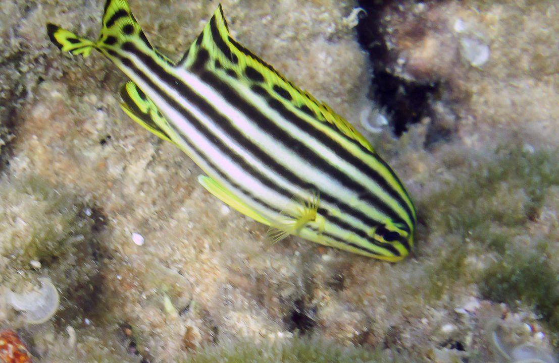 Jw Plectorhinchus gaterinus