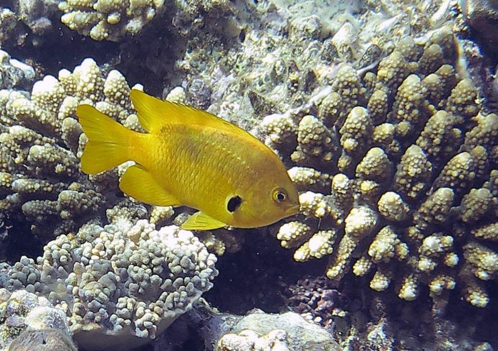 Pomacentrus sulfureus