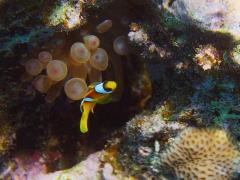 Amphiprion bicinctus