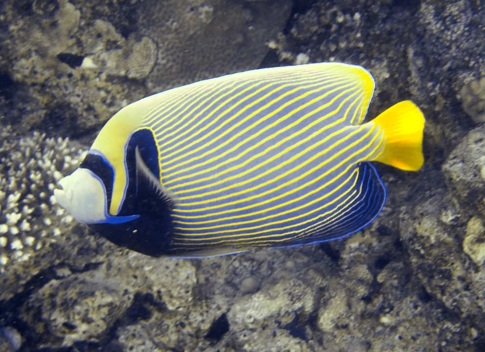 Imperial angelfish