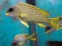 Рыбы-ворчуны