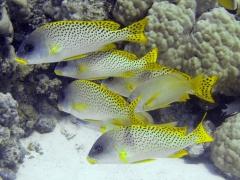 Plectorhinchus gaterinus