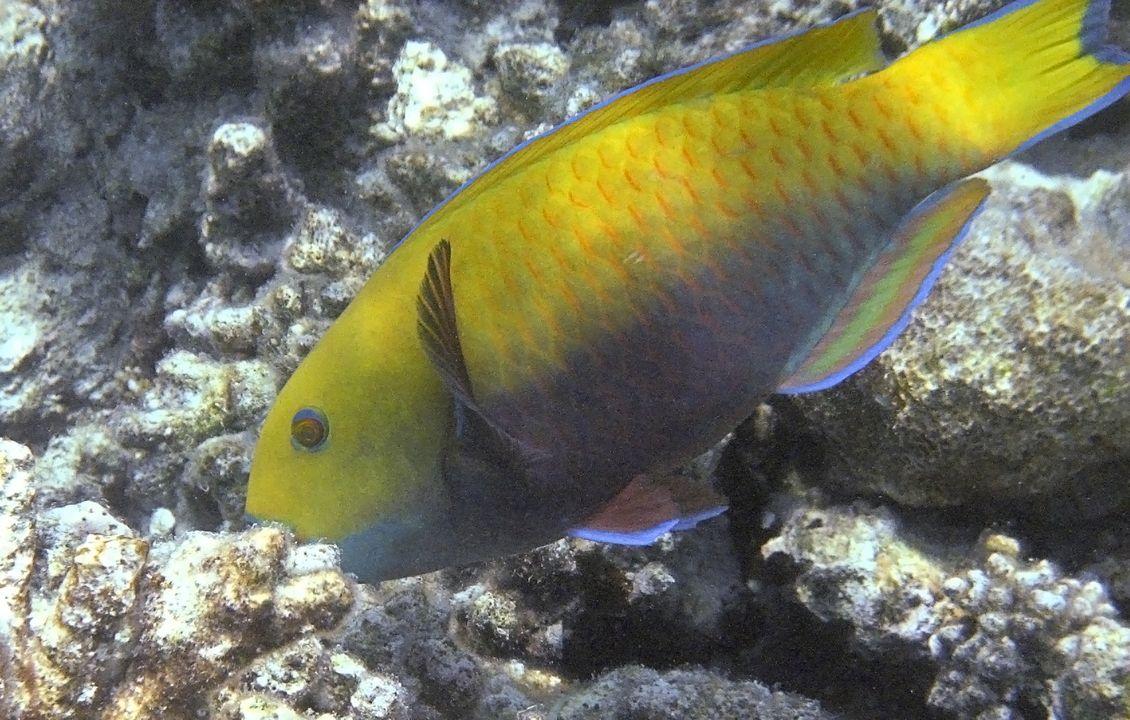 Scarus ferrugineus (female)