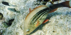 Scarus frenatus (female)