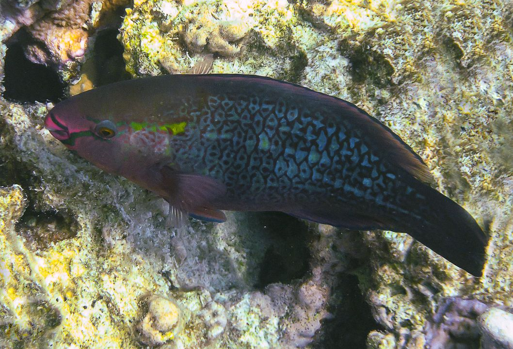 Scarus niger (female)
