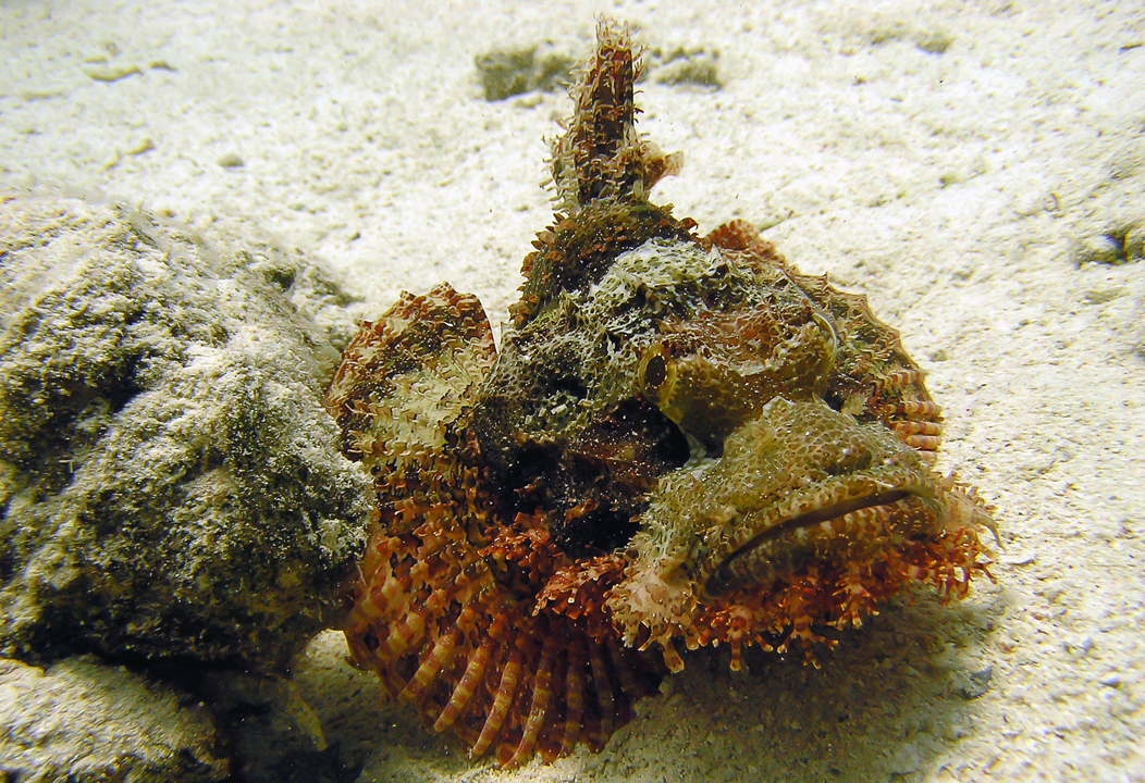Scorpaenopsis oxycephala