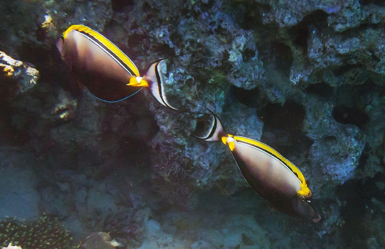 Naso elegans