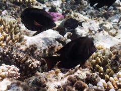 Acanthurus nigrofuscus