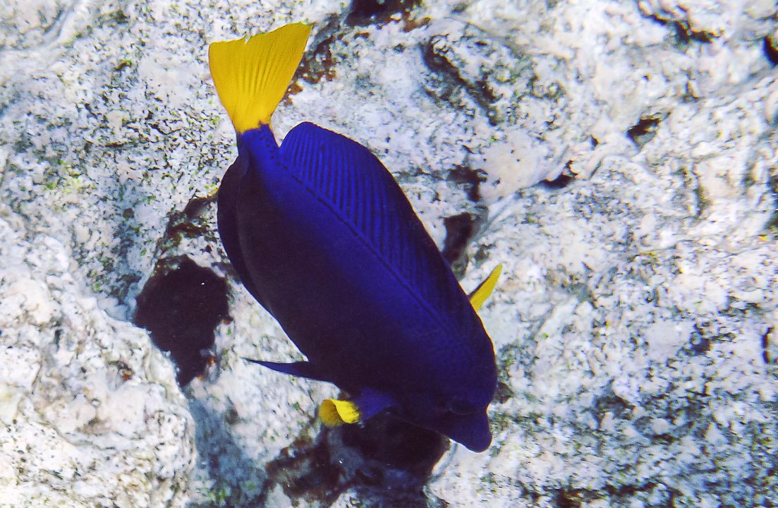 Zebrasoma xanthurum