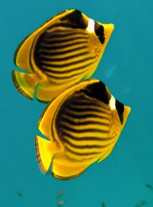 Полосатая рыба-бабочка