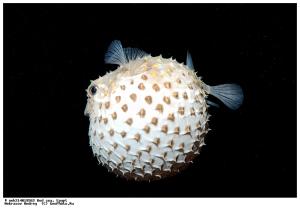 Длиношипая рыба-ёж